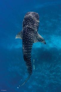 Belize_Whale_Shark